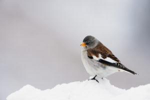 Gorrión alpino ©ArCaLU-Shutterstock